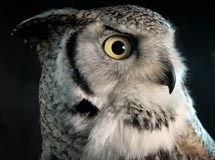 Close up photograph of an owl shot on a black background