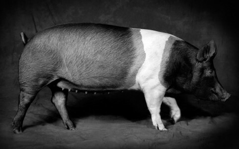 Creative photography example - pig on a studio background