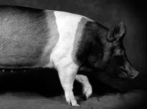 Black and White Photograph of a Pig against a material background